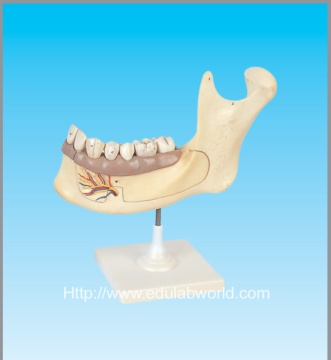 Half lower jaw model